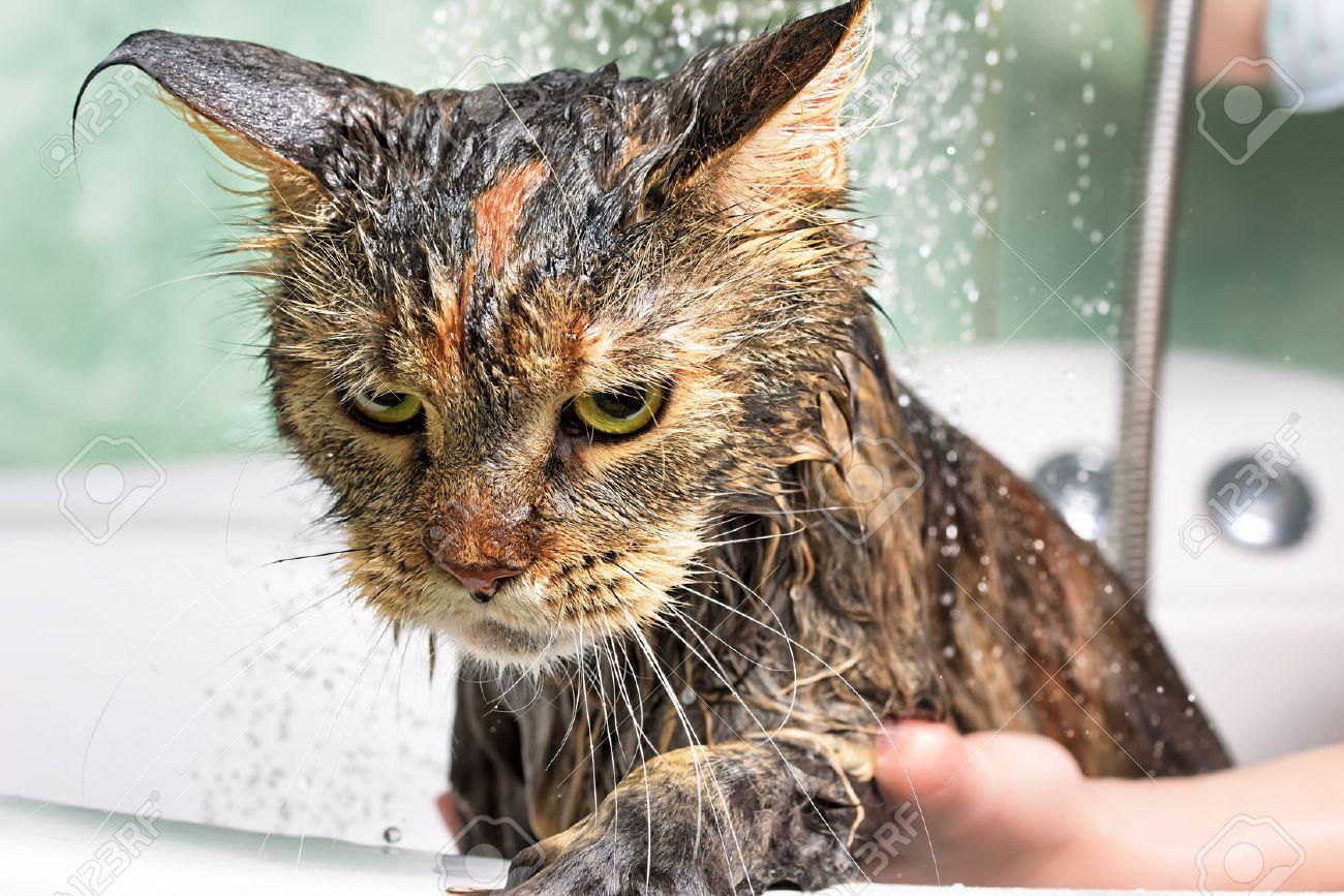 69672360-cat-bath-wet-cat.jpg
